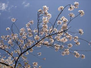 20140405_靖国神社と桜08_320.JPG
